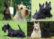 Scotties Composite Magnet (H)