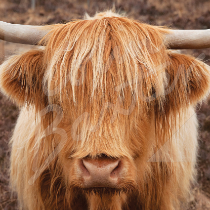 Highland Cow (head on) Greetings Card (CB)