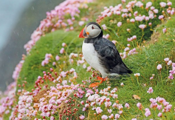 Atlantic Puffin & Sea Pinks Postcard (H Std CB)