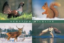 Capercaille, Squirrel, Deer, Osprey Comp Postcard (H Std CB)