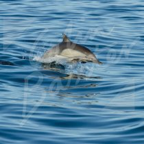 Scotland Greetings Cards - Common Dolphin Greetings Card (CB)