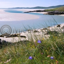 Harebells, Harris (Colour)
