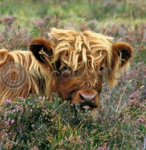 Highland Calf in Heather (Colour) (Apr)