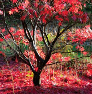 Red Acer (Art) (Apr)