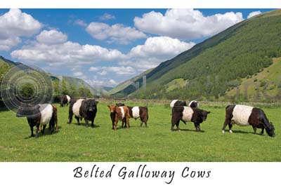 Belted Galloway Cows (HA6)