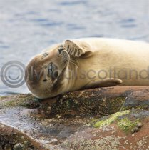 Scottish Seal Colour Photo Greetings Card