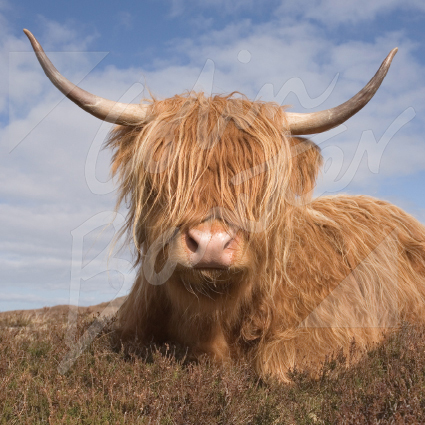 Highland Cow Greetings Card (CB)