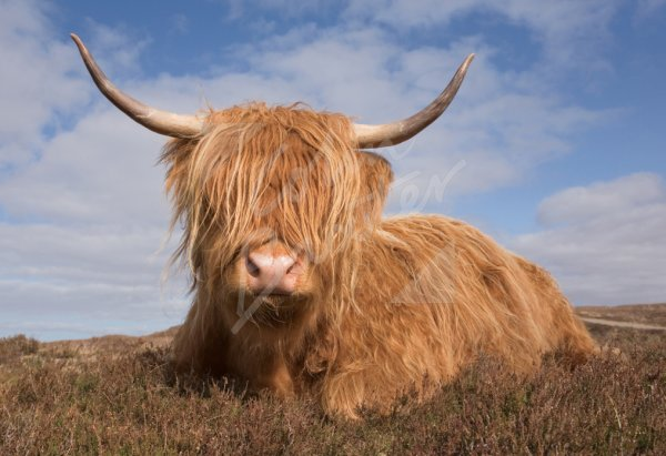 Highland Cow (sitting down face on) Postcard (H Std CB)