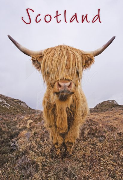 Highland Cow Postcard (V Std CB)