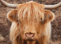 Highland Cow Magnet (face only) Magnet (H CB)