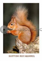 Scottish Red Squirrel (VA6)