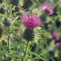 Scottish Thistle Colour Photo Greetings Card